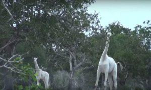 White Giraffes 743x350 300x180 - curious