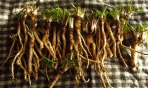 Dandelion Root Builds Up Blood And Immune System And Has Cured Prostate Lung And Other Cancers e1466269014808 300x180 - health