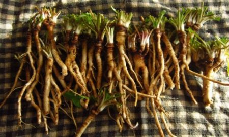 Dandelion Root Builds Up Blood And Immune System And Has Cured Prostate Lung And Other Cancers e1466269014808 450x270 - health