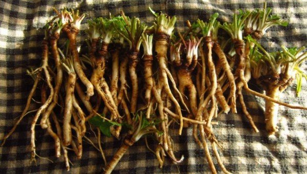 Dandelion Root Builds Up Blood And Immune System And Has Cured Prostate Lung And Other Cancers e1466269014808 - health