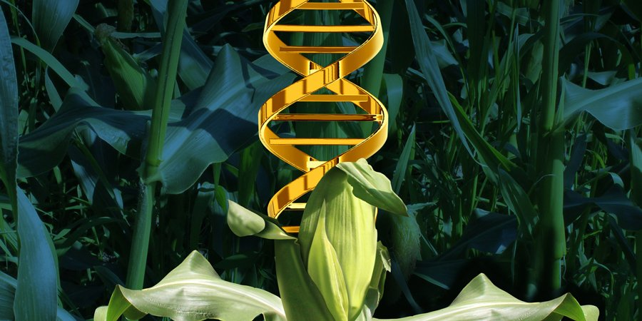 DNA From Genetically Modified Crops Can Be Transferred Into Humans Who Eat Them - curious