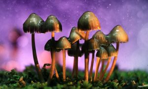 Scientists Have Found The Reason Why Magic Mushrooms Evolved to Be So Magical 300x180 - curious