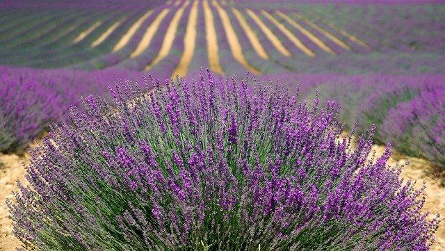 lavender 894919 640 1 - health